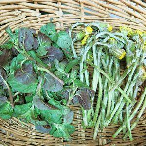 basket of foraged dandelions