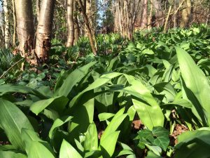 Wild garlic growing in the woods